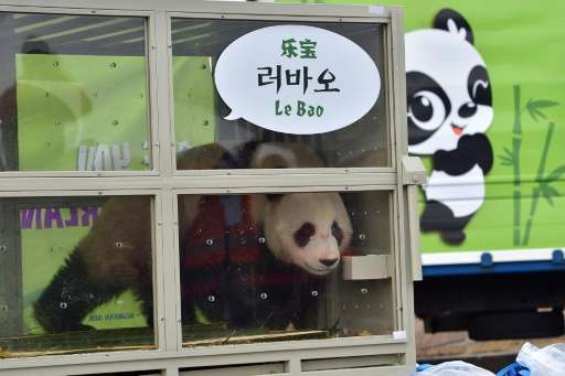 Lebao (pleasant treasure), a three-year-old male panda, is seen during a welcoming ceremony for a pair of giant pandas born in C