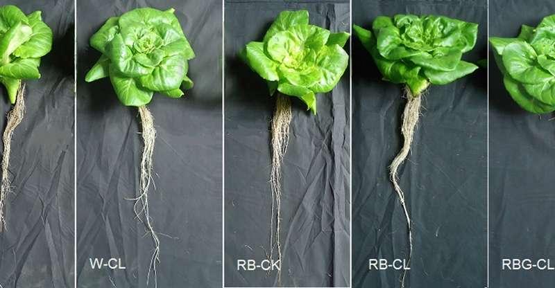 LED treatments enhance lettuce phytochemicals, antioxidants