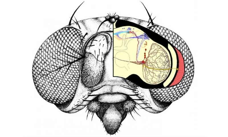 Light causes drosophila to take longer midday nap