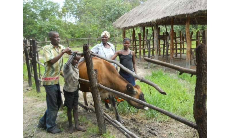 Livestock donations to Zambian households yield higher income, improved diet