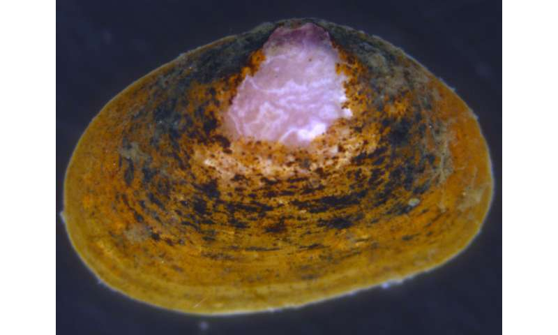 Living together in mud: New bivalve species dwelling on a sea cucumber discovered in Japan