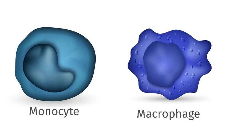 LJI scientists flip molecular switches to distinguish related immune cells