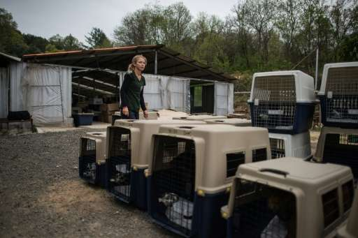 Lola Webber of Humane Society International transport dogs in crates during the closure of a dog meat farm in Wonju