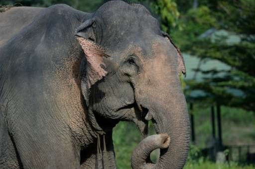 Low birth rates have see the Asian elephant population in Vietnam dwindle