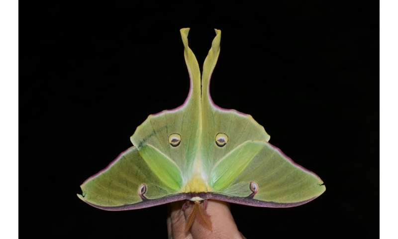 Luna moth's long tail could confuse bat sonar through its twist
