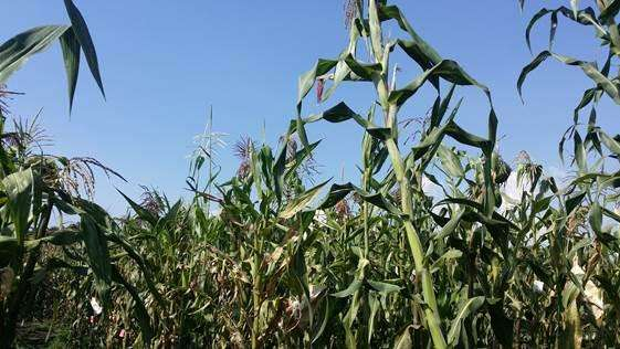 Maize genetics may show how crops adapt to climate change