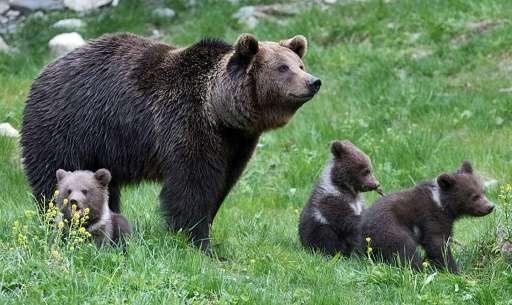 Bear And Cub Sex