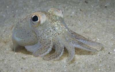 Male squid unfazed by costly sex