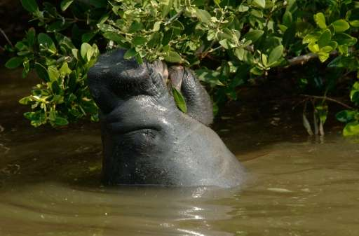 Manatees were listed as endangered almost 50 years ago, after being killed mainly due to overhunting and collisions with boats