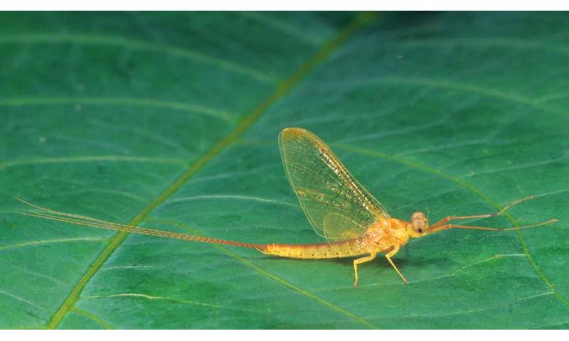 Mayflies of Turkey: Two new records for the country species and an annotated catalogue