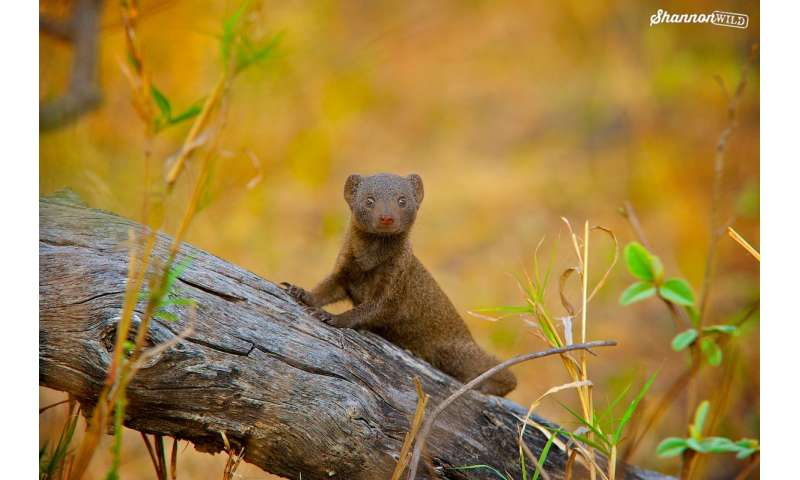 Mobbing mongooses get by with a little help from their friends