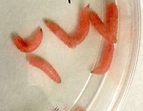 Modified maggots could help human wound healing