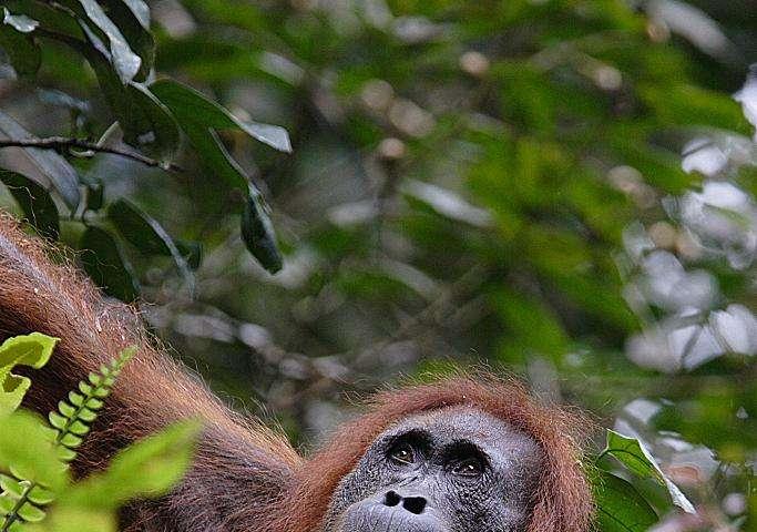 More Sumatran orangutans than previously thought