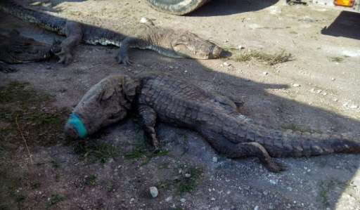 More than 120 crocodiles died while being transported from Sinaloa state to Quintana Roo state in Mexico, many suffocating and b