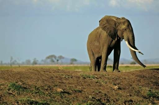 More than 30,000 African elephants are killed by poachers every year to supply an illegal trade controlled by criminal gangs tha