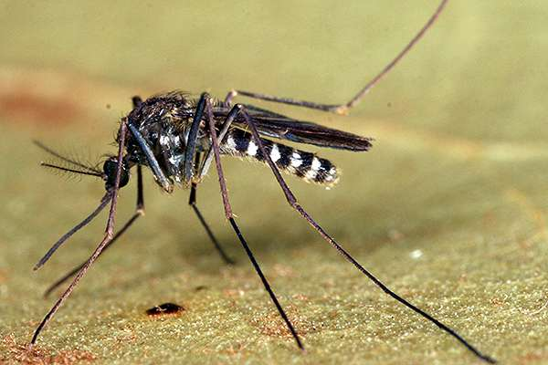Mosquito species may be key to transmitting EEE virus in southeast US