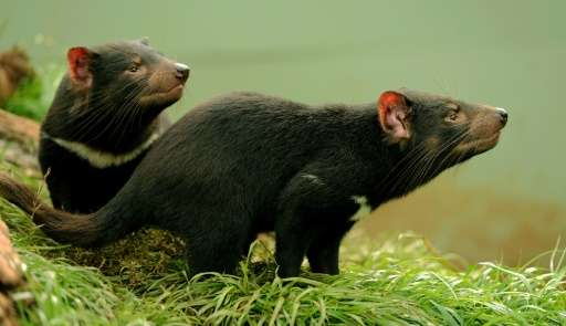 Mother's milk from Tasmanian devils could help the global fight against so-called super-bugs that resist antibiotics, Australian