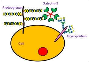 Multitasking proteins: Unexpected properties of galectin-3