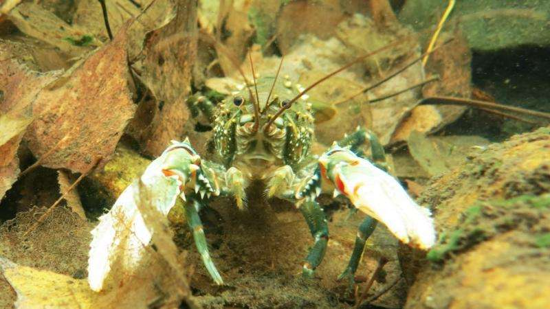 Murray crayfish high-country hideout under threat