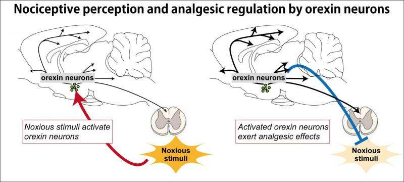 Neuronal activity shows link between wakefulness and fight-or-flight response in mice