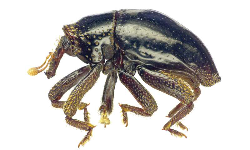 New curiously scaled beetle species from New Britain named after 'Star Wars' Chewbacca