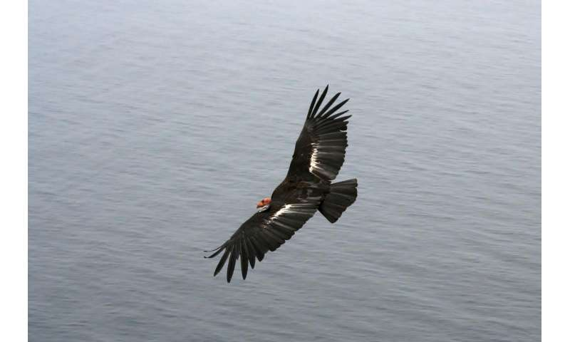 New evidence for California Condors' genetic bottleneck