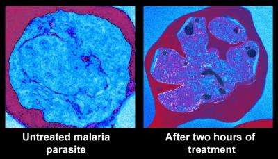 New malaria drugs kill by promoting premature parasite division
