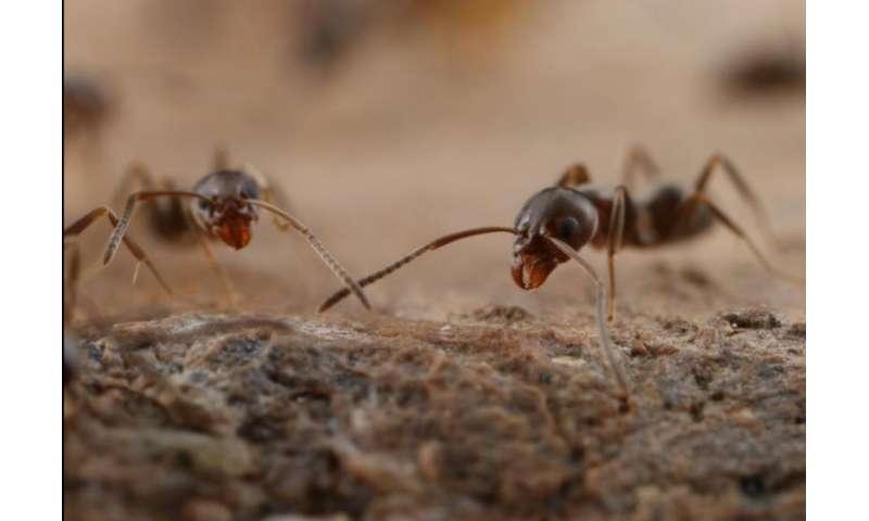 New method to stop Argentine ants