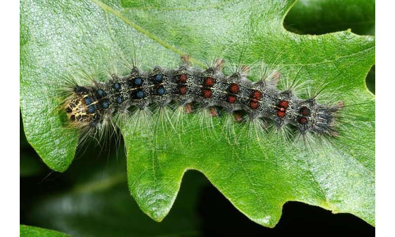 Adult gypsy moth food with