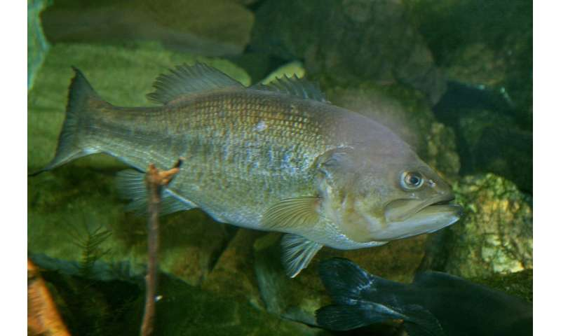 New Virus Found During Investigation Into Largemouth Bass Fish Kill