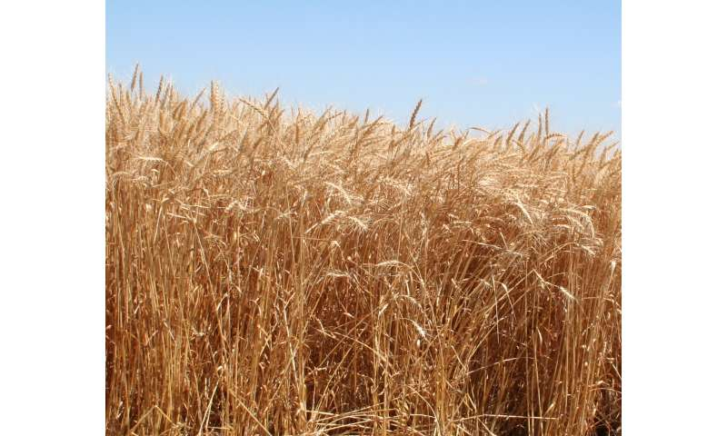 New Winter Wheat Variety Offers High Yields, Disease Resistance