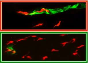 Nitric oxide protects against parasite invasion and brain inflammation by keeping the blood brain barrier intact
