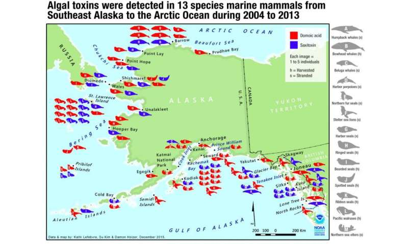 NOAA, partners: Testing detects algal toxins in Alaska marine mammals