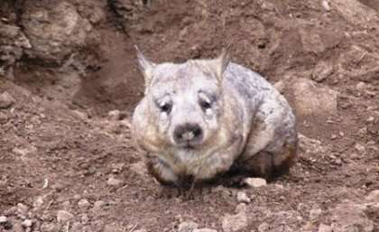 Noninvasive solution to wombat conservation