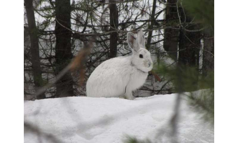 No snow, no hares: Climate change pushes emblematic species north