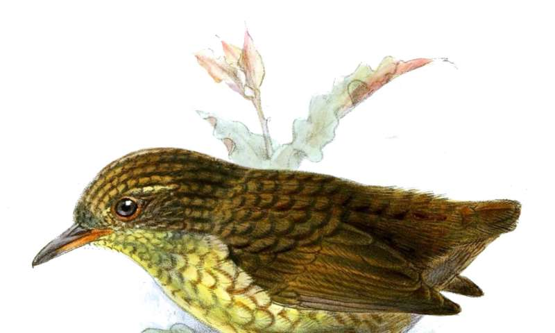 NZ wren DNA analysis reshapes geological theory