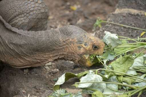 Of the 15 species of giant tortoise known to have originated in the Galapagos, three have gone extinct—victims of 18th-century p