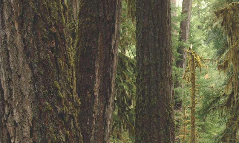 Old-growth forests may provide buffer against rising temperatures