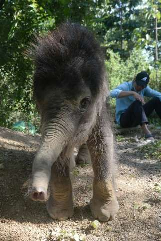 """One-year-old male elephant """"Gold"""" plays inside the Dak Lak Elephant Conservation Centre where he is being cared for in"""