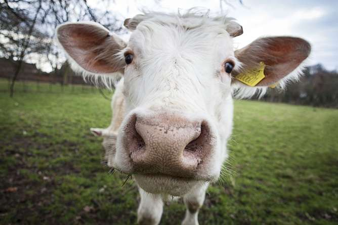 Opposition to genetically modified animals could leave millions hungry