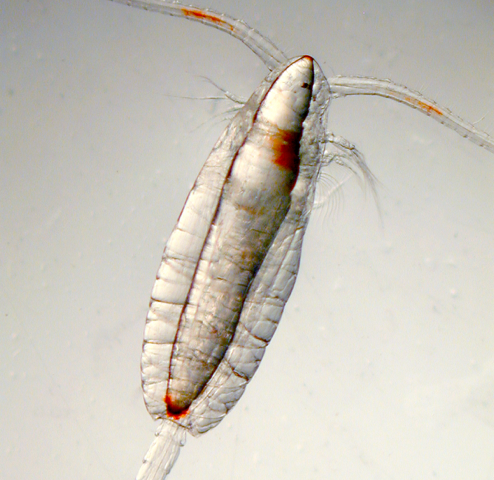 Organism responsible for paralytic shellfish poisoning may affect fisheries