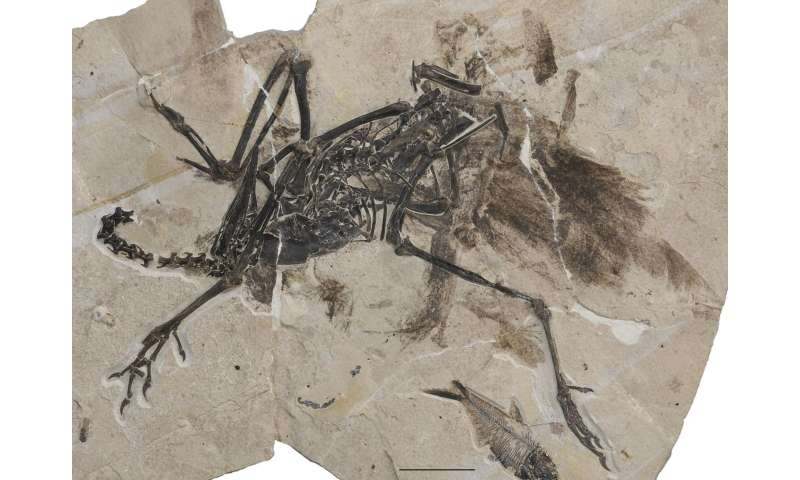Ostrich relative lived in North America 50 million years ago