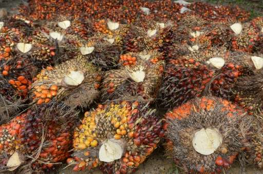 Palm oil seeds are collected at a plantation area in Pelalawan, Riau province in Indonesia's Sumatra island on September 16, 201