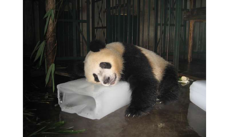 7d6e4407d31e Pandas don t like it hot  Temperature