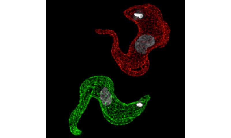 Parasites'winner-takes-all mechanism to evade immune defenses