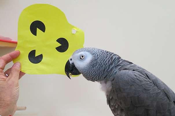 Parrots know shapes