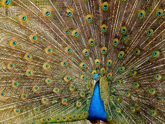 Peacocks might not shake those tail feathers for the reasons you think