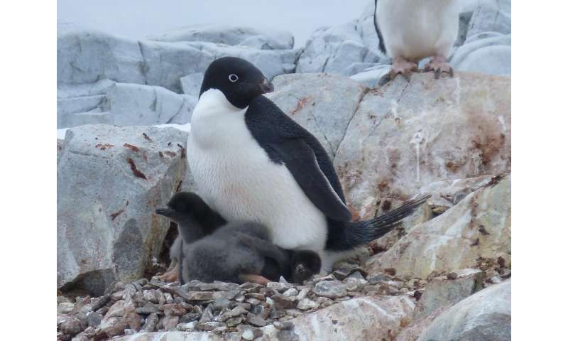 Penguin population could drop 60 percent by end of the century