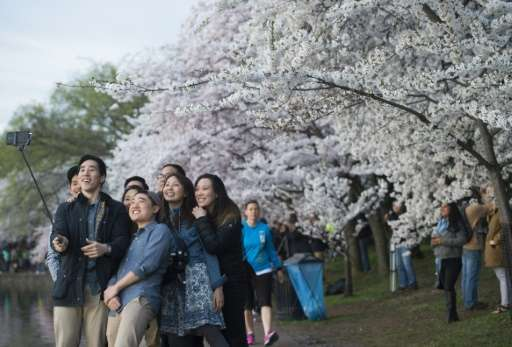 "People use a ""selfie stick"" as they photograph themselves in front of cherry trees as they blossom"
