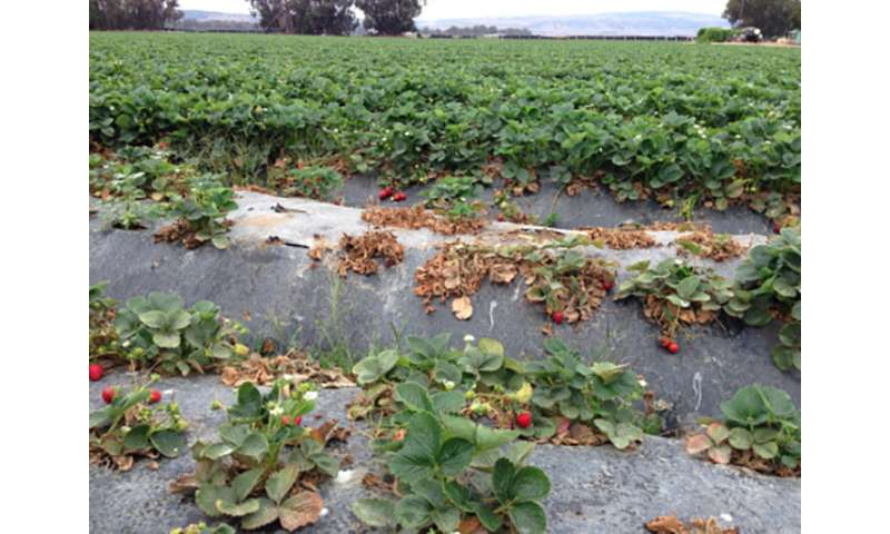 Pesticide predicament for California's strawberry growers